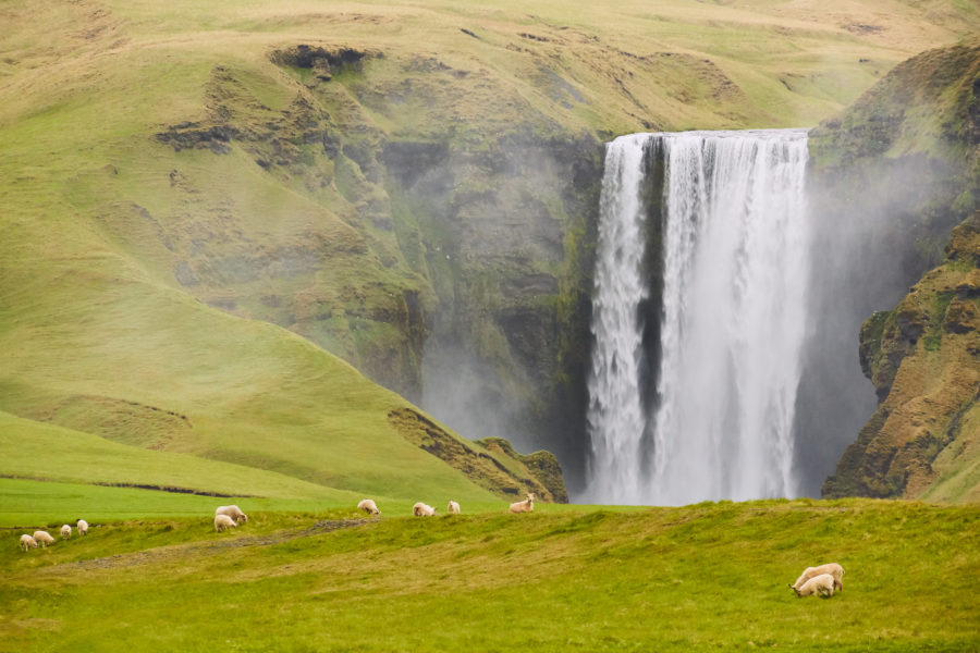 Skogafoss Sheep